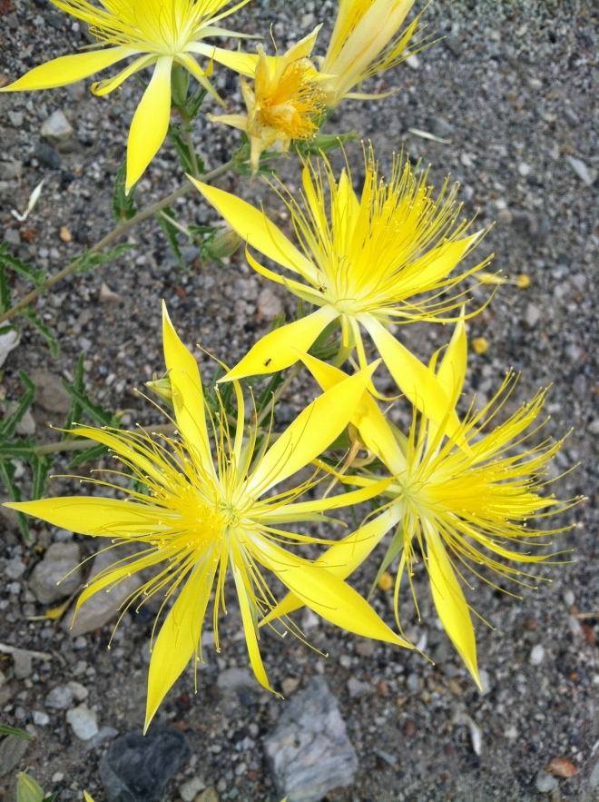 Blazing Star, my favorite flower up here!