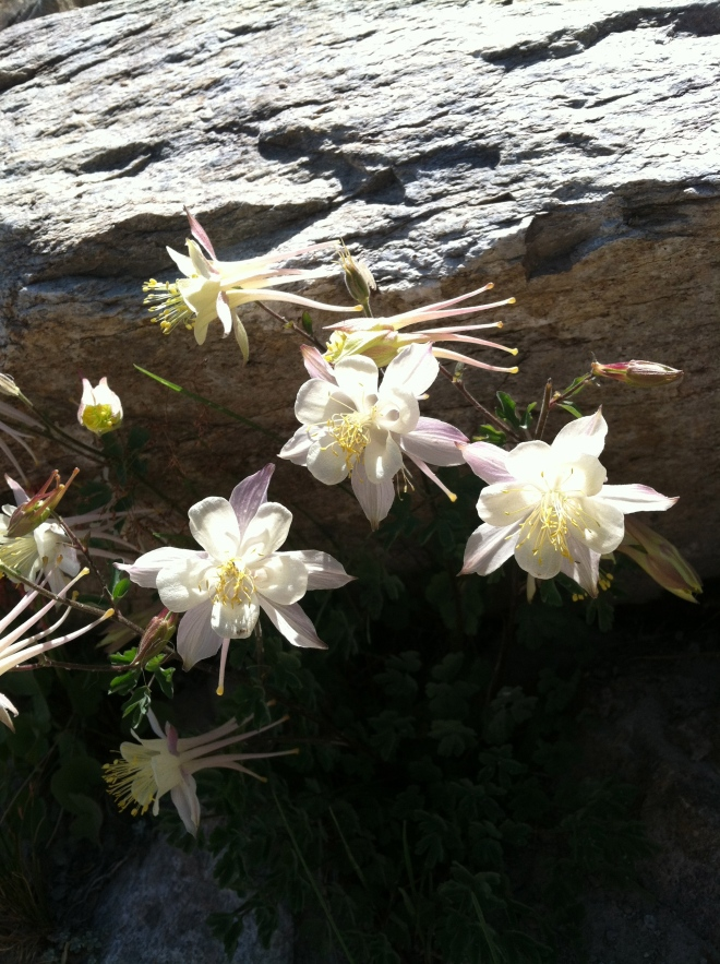 Alpine Pink Columbine on the Duck Pass trail in July.