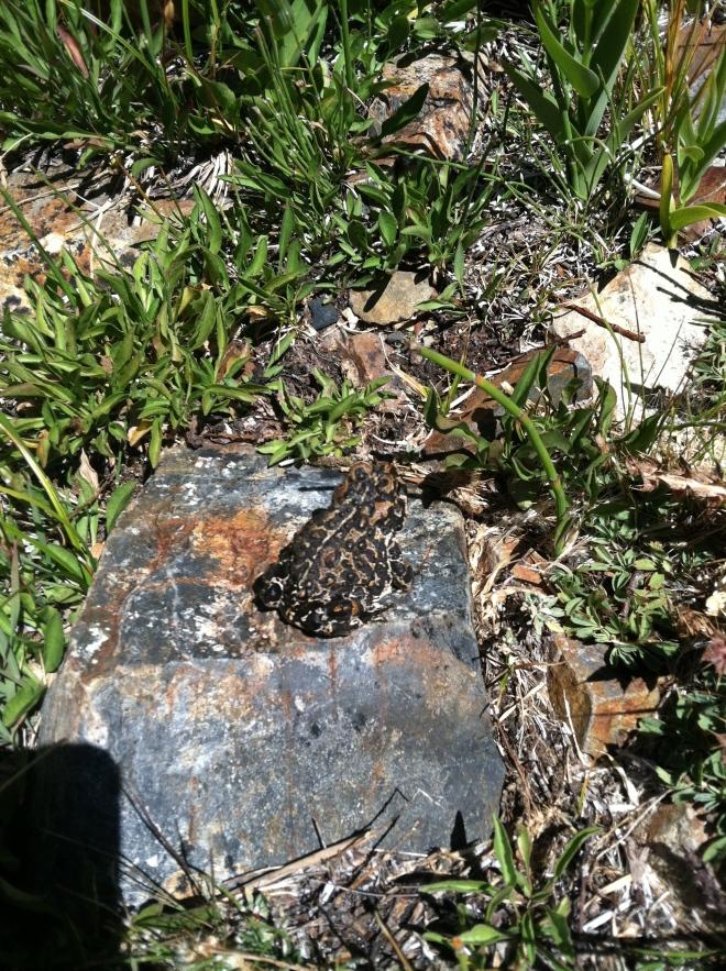 Yosemite Toad. I love toads!
