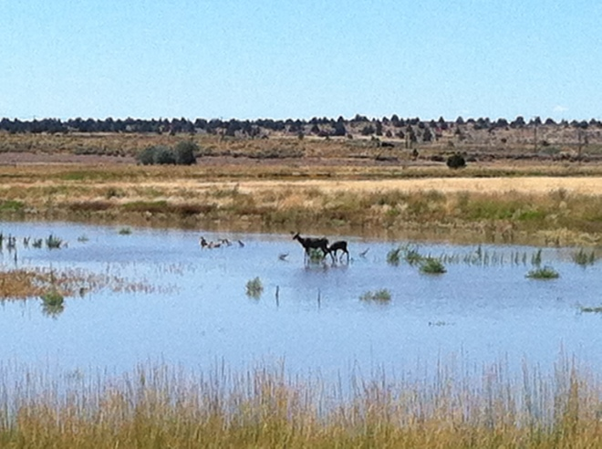 Deer wading the marsh at Modoc N.W.R.