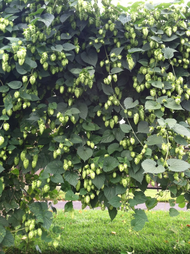 Hops as landscaping in the parking lot of Deschutes.