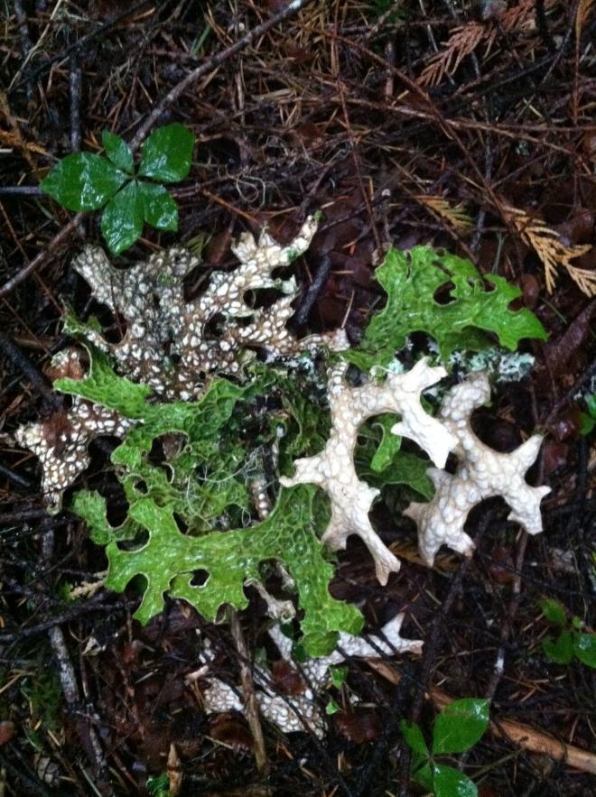 Crazy lettuce looking lichen.