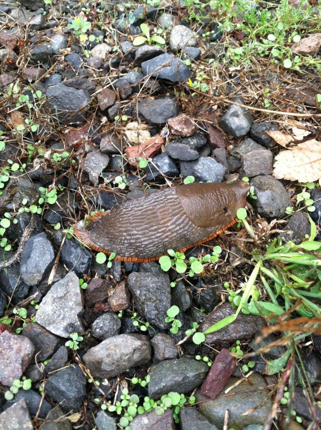 Large Brown Slug (Arion Ater)