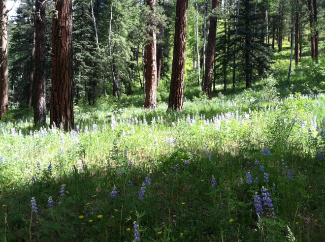 A field of lupine on the Hermosa Creek Trail.