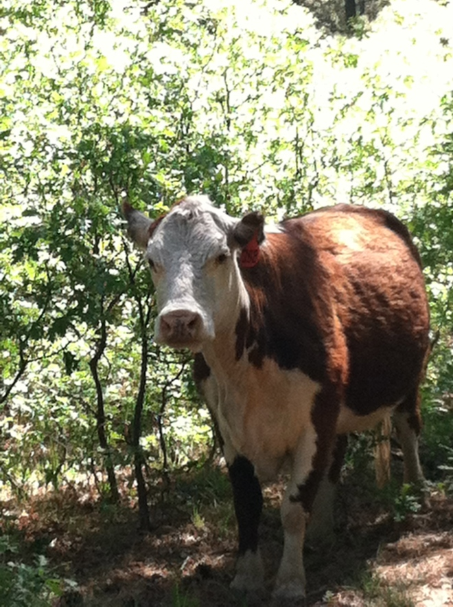 June 1st is when the San Juan National Forest allows grazing in the Boggy Draw area. It's pretty exciting to be ripping around a blind corner and have a big ol' cow standing in the trail.