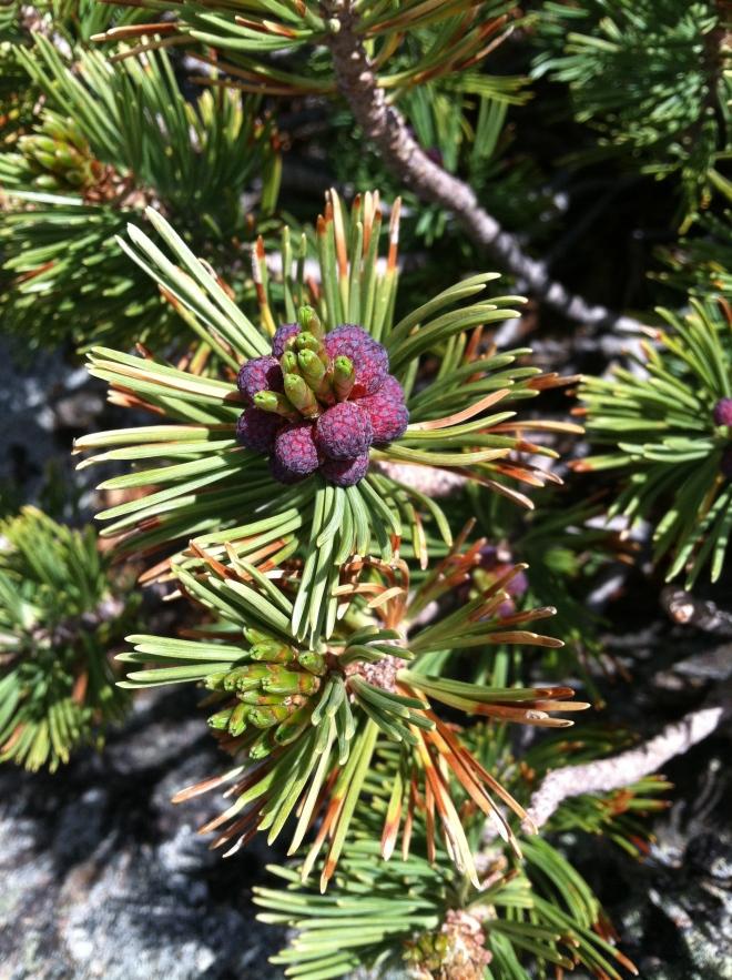 White bark pine.