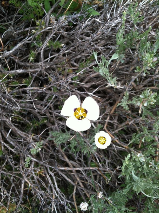 Mariposa Lily.