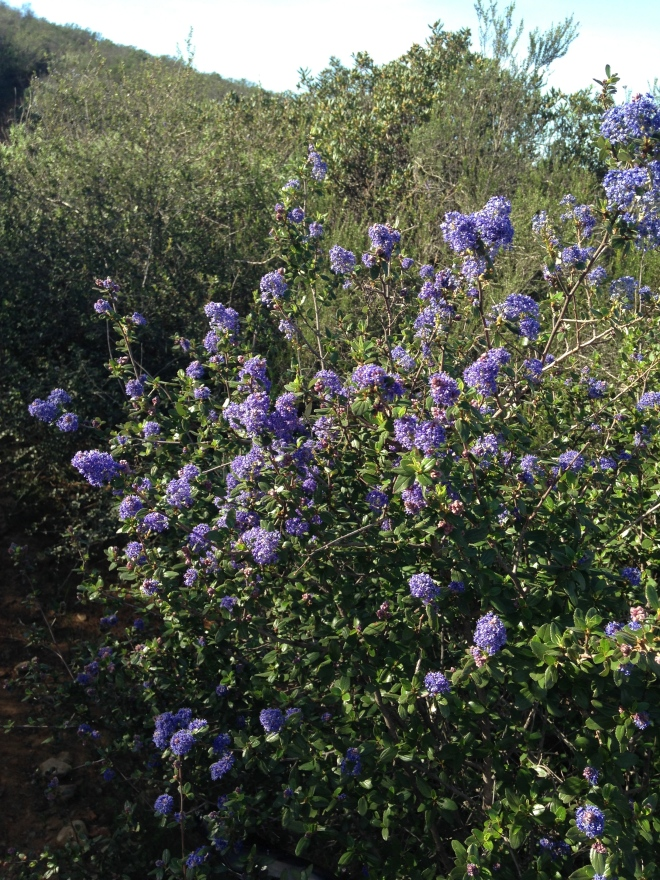 What a great stretch of weather we are having.  A few occasional rain showers have made for a great early flowers. One of our favorites, the ceanothus is blooming.