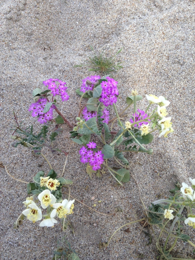 Up close view of the Desert Sand Verbena & Brown-eyed Evening Primrose.