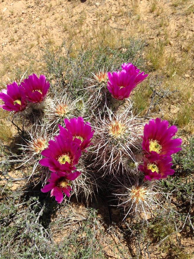 Hedgehog Cactus.