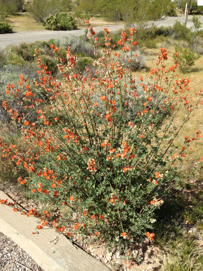 The Apricot Mallow was everywhere.