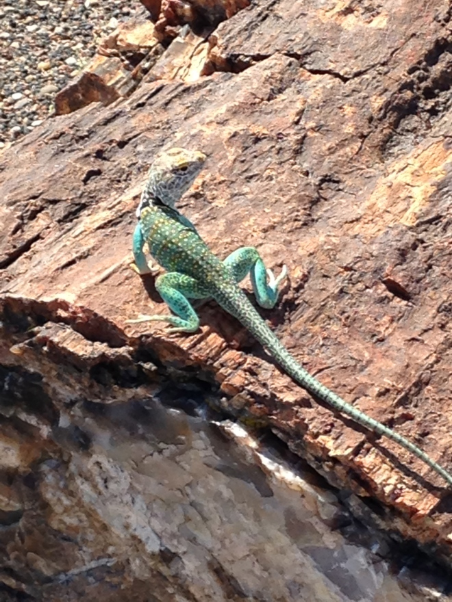Collared Lizard on a petrified log.