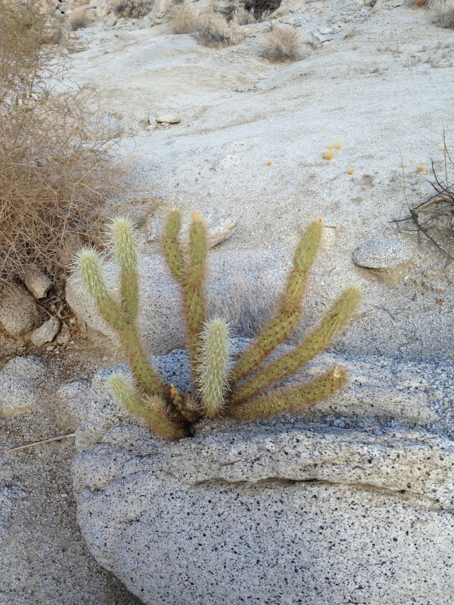 Damn the Cholla are tough. This one is growing out of the granite.