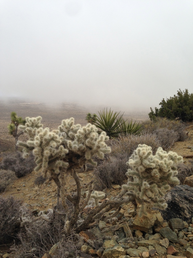 Cholla near the summit of Ryan Mountain.